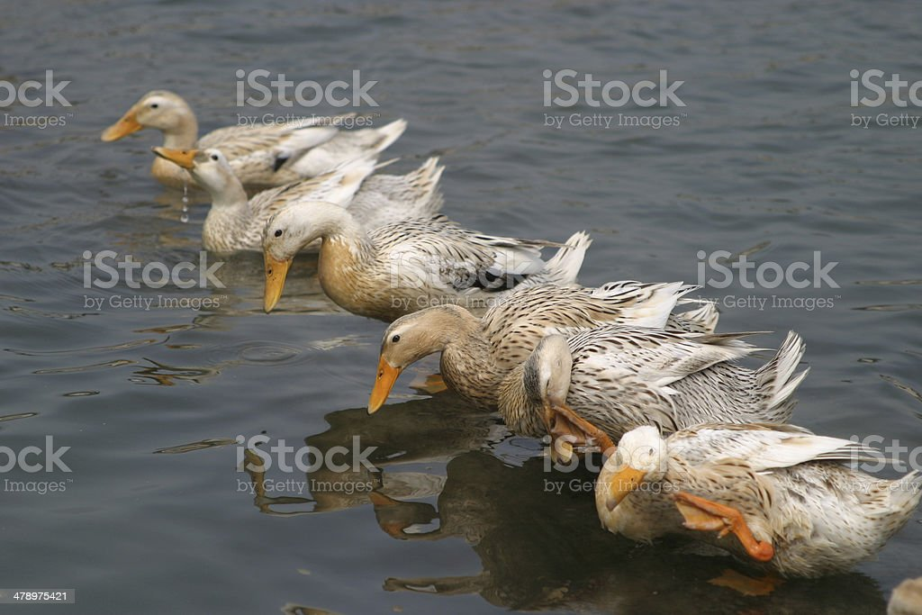 Gooses swimming in a pond, China stock photo