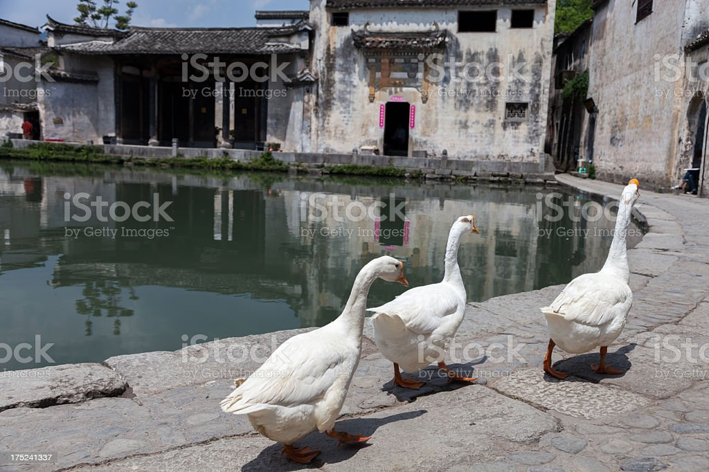 Gooses walking in Chinese village, China stock photo