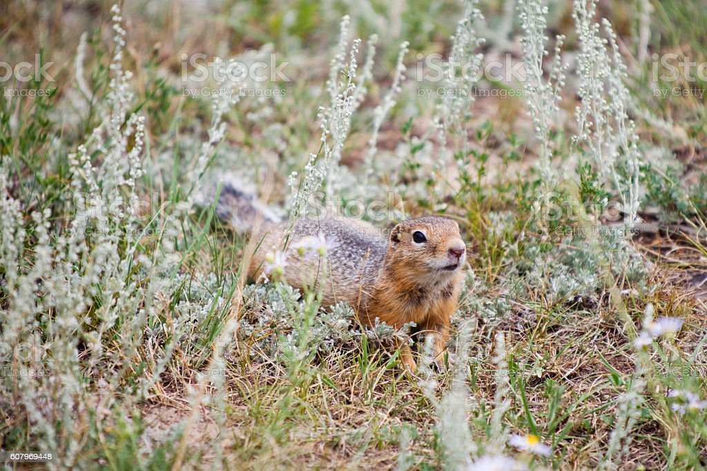gopher crawling and sniffing stock photo