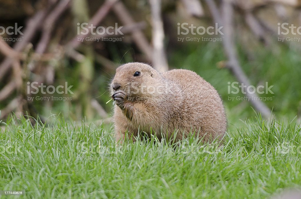 Gopher eating royalty-free stock photo