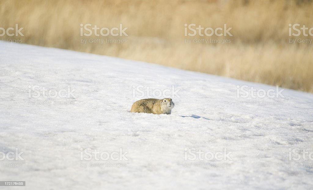 Gopher in Spring stock photo