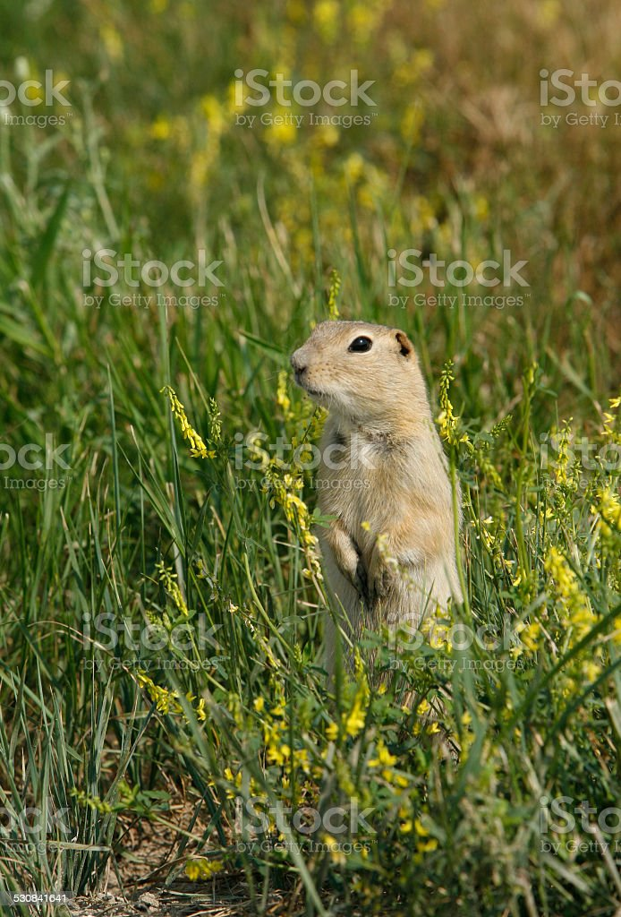 Gopher stock photo