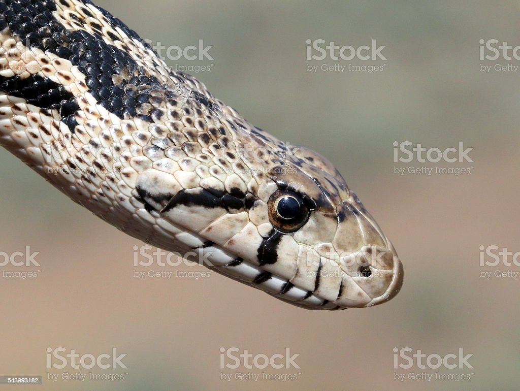 Gopher Snake Close Up stock photo