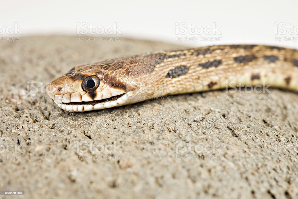 Gopher Snake Head stock photo