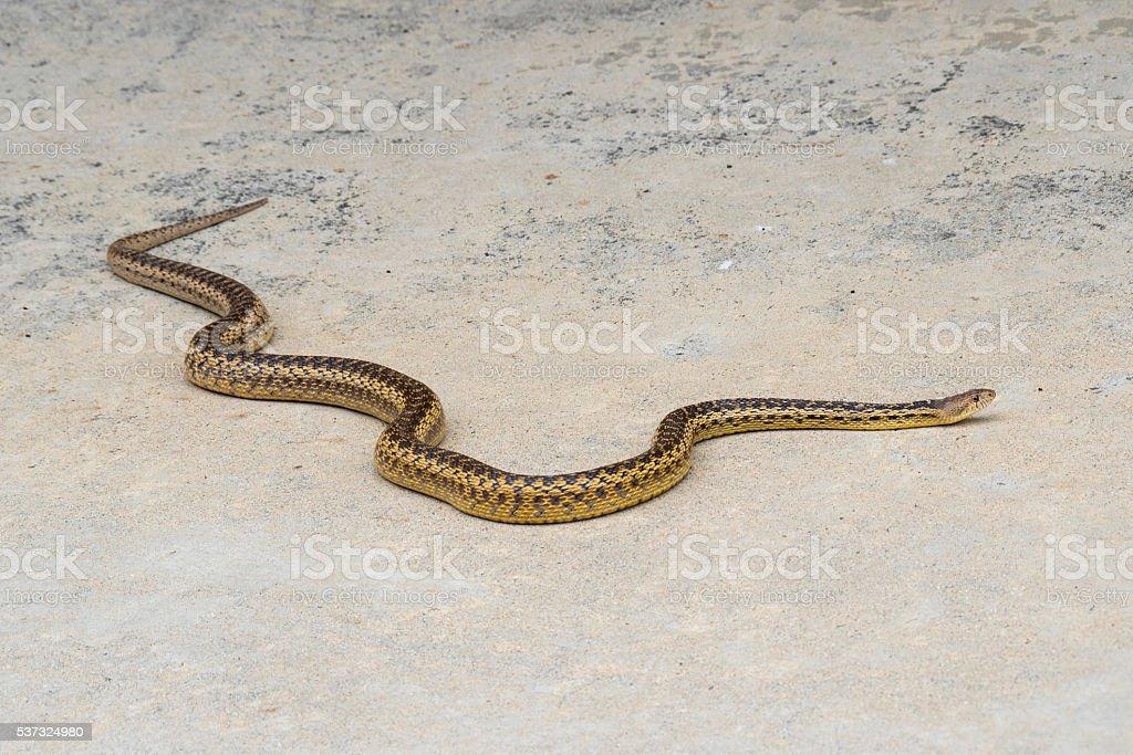 Gopher Snake On Patio California stock photo