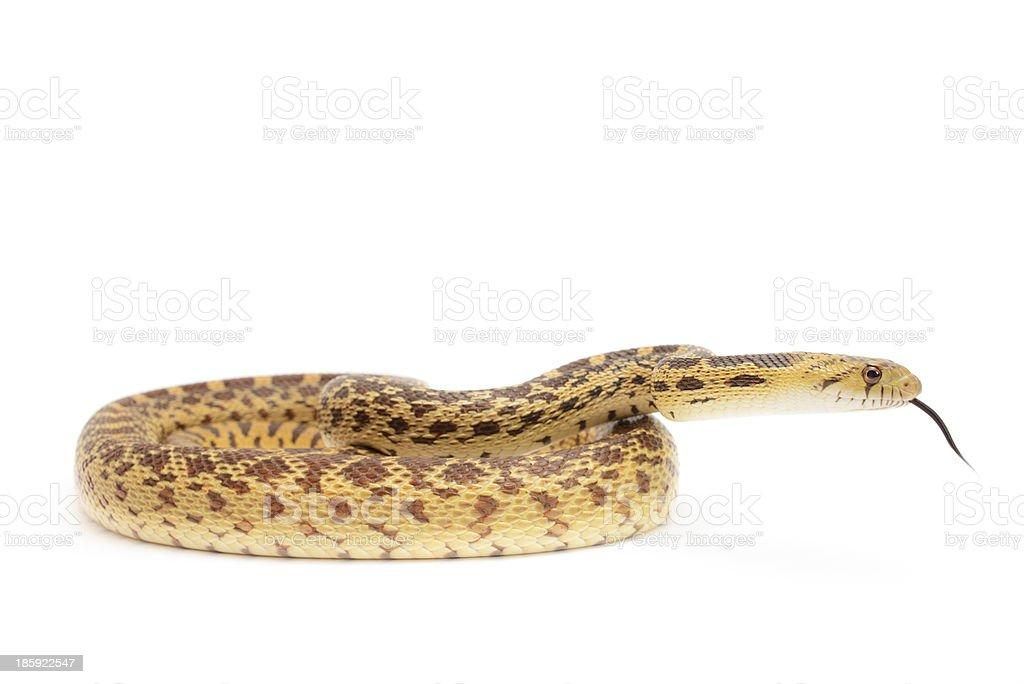Gopher Snake stock photo