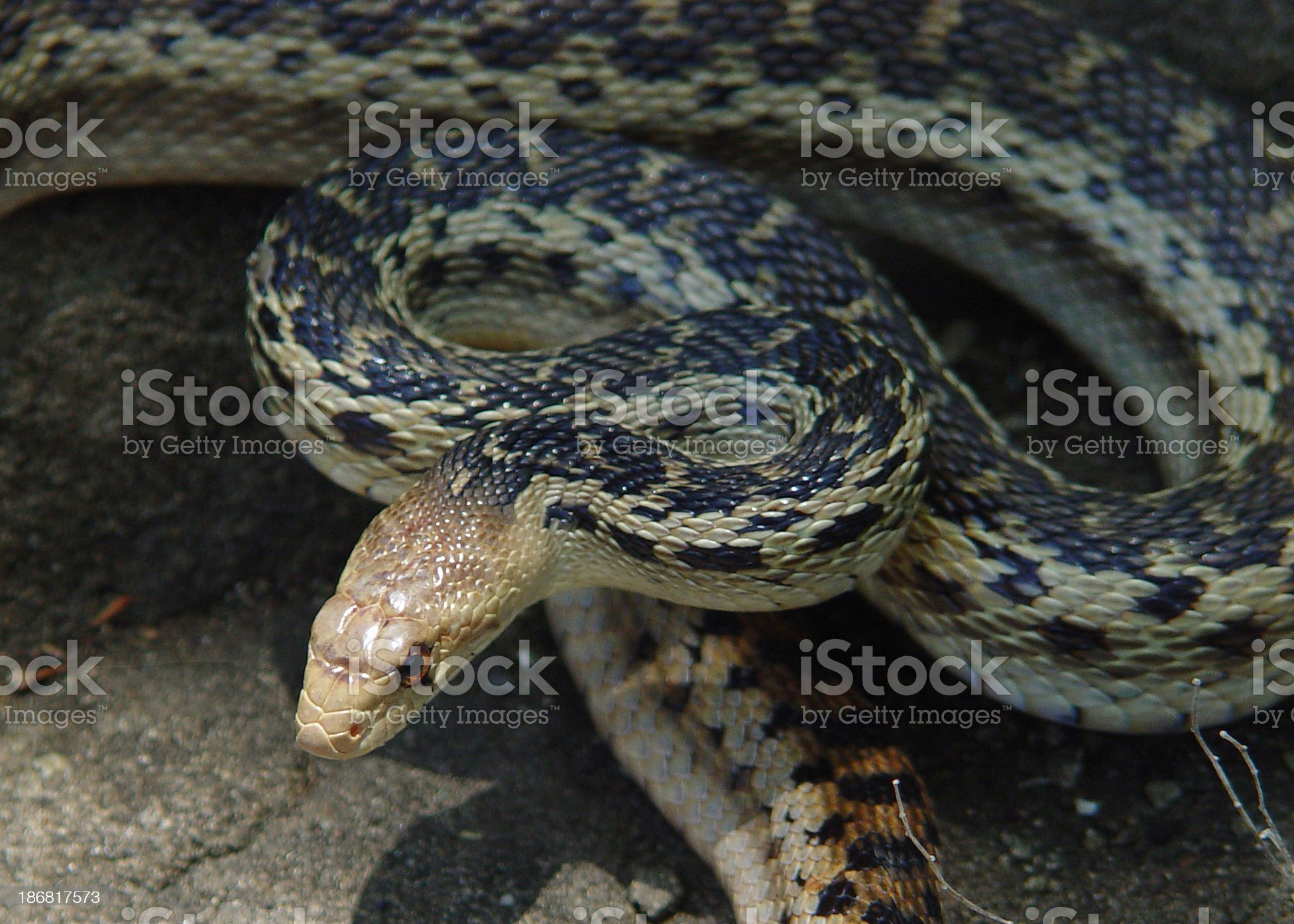 Gopher snake royalty-free stock photo