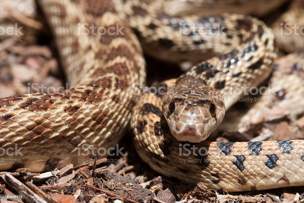 gopher snake  Pituophis catenifer stock photo