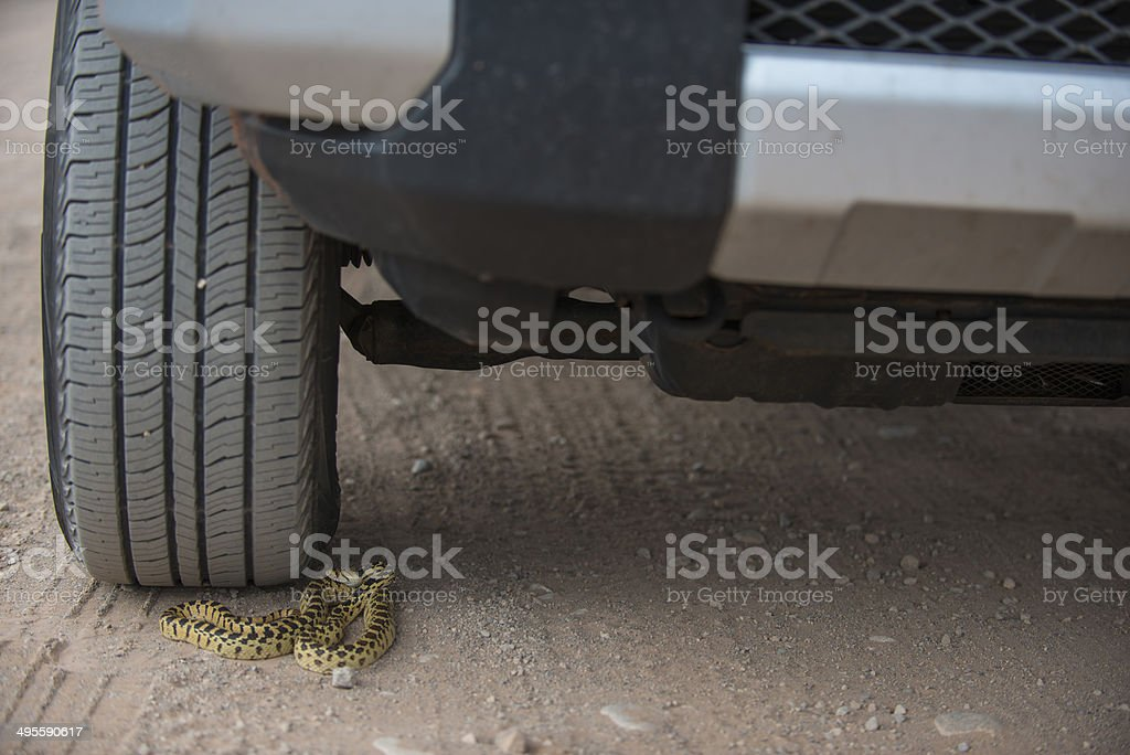 Gopher Snake under the wheel of a car stock photo