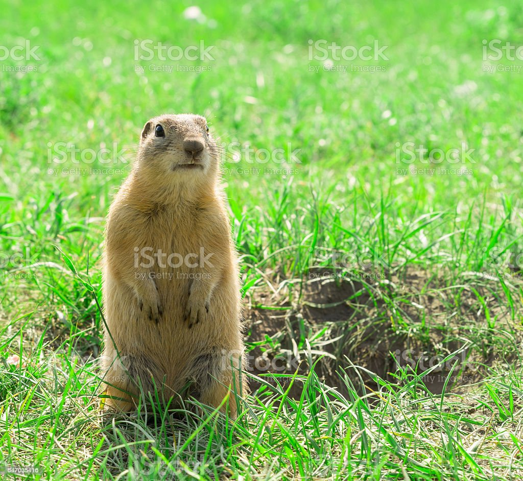 Gopher standing and starring near the burrow on meadow stock photo