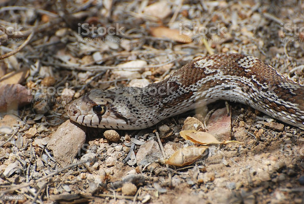 Gophersnake.  Tucson, AZ royalty-free stock photo
