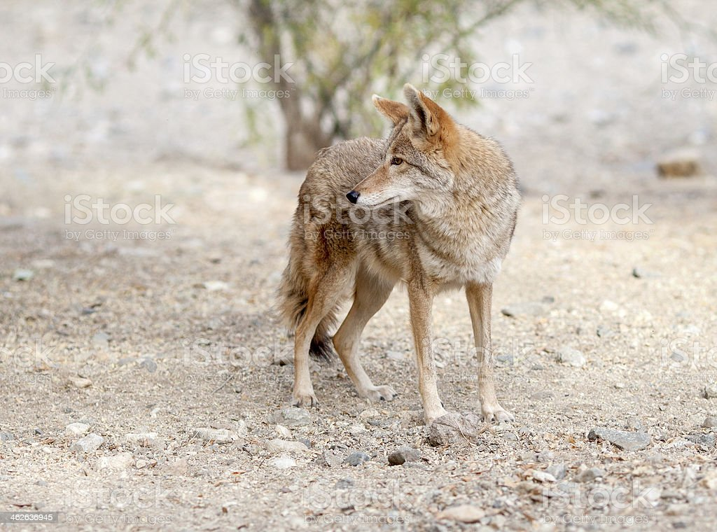 Gorgeous American coyote at alert royalty-free stock photo