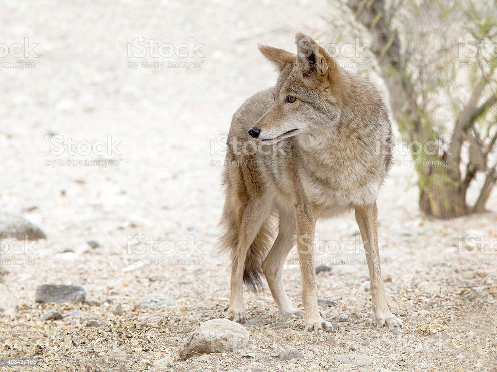 Gorgeous American coyote stock photo