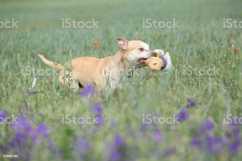 Gorgeous American Pit Bull Terrier in flowers stock photo