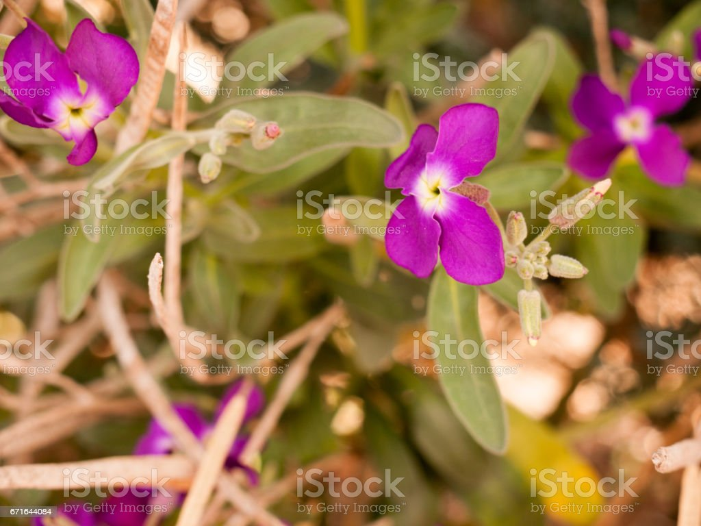 gorgeous and pretty purple flower heads in spring blossoming and ripe reaching out away from stem and in full view and detail crisp and sharp isolated stock photo