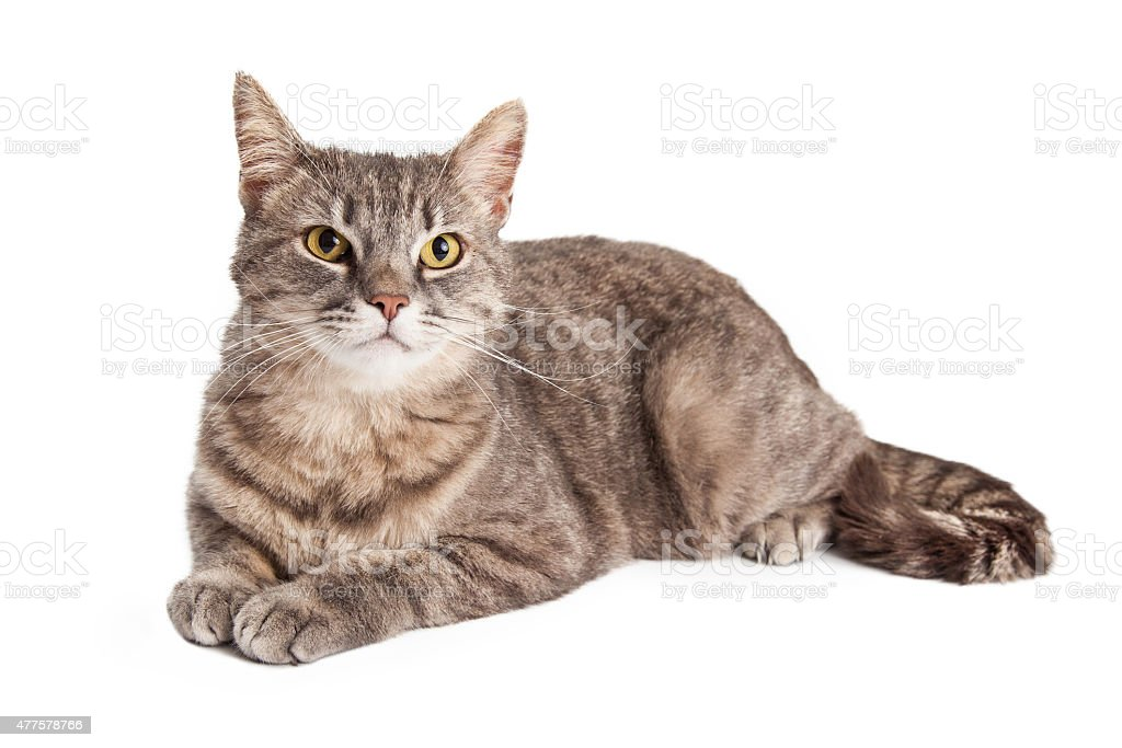 Gorgeous Domestic Shorthair Tabby Cat Laying stock photo