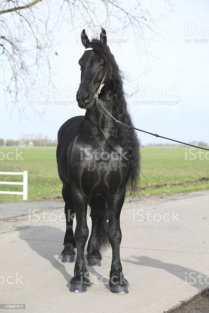 Gorgeous friesian stallion with long hair royalty-free stock photo