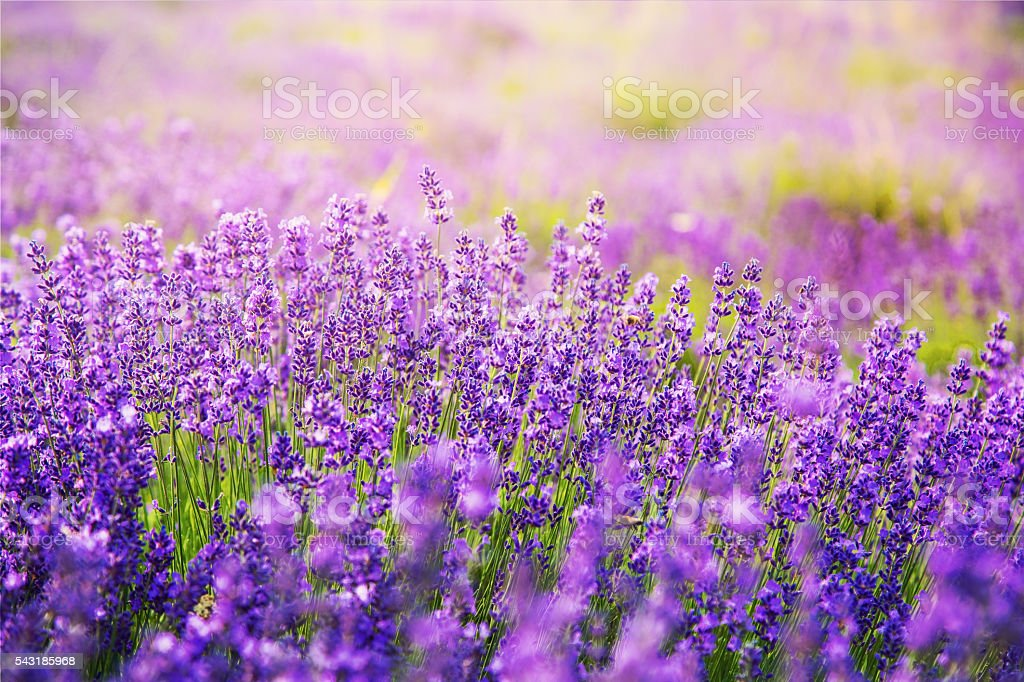 Gorgeous lavender flowers on lavender field stock photo