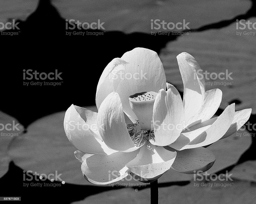Gorgeous Lotus stock photo