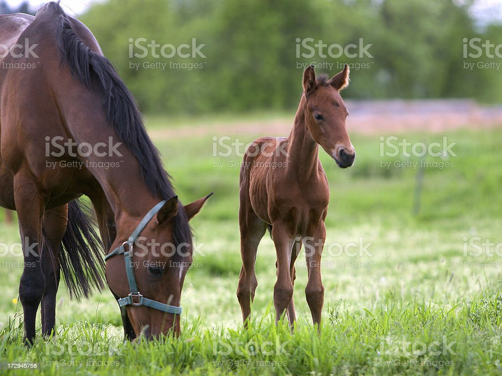 Gorgeous mahogany mare and her spindly legged foal royalty-free stock photo