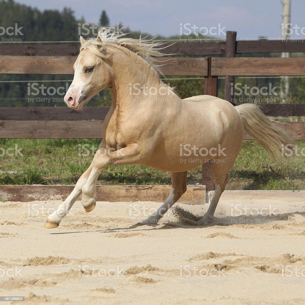 Gorgeous palomino stallion running stock photo