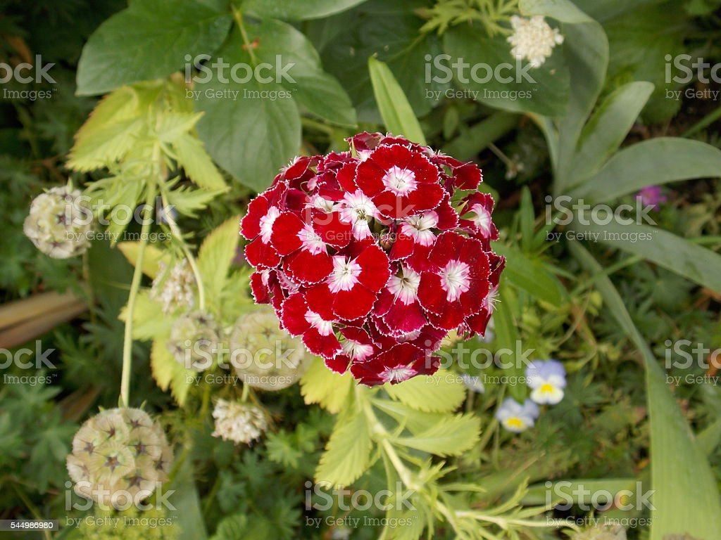 Gorgeous Red and White Flower stock photo