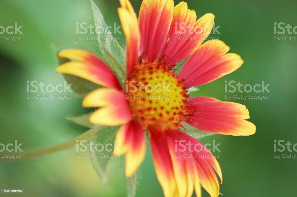Gorgeous Red and Yellow Gaillardia Mesa Flower in a Botanic Garden, Spring, Texas stock photo
