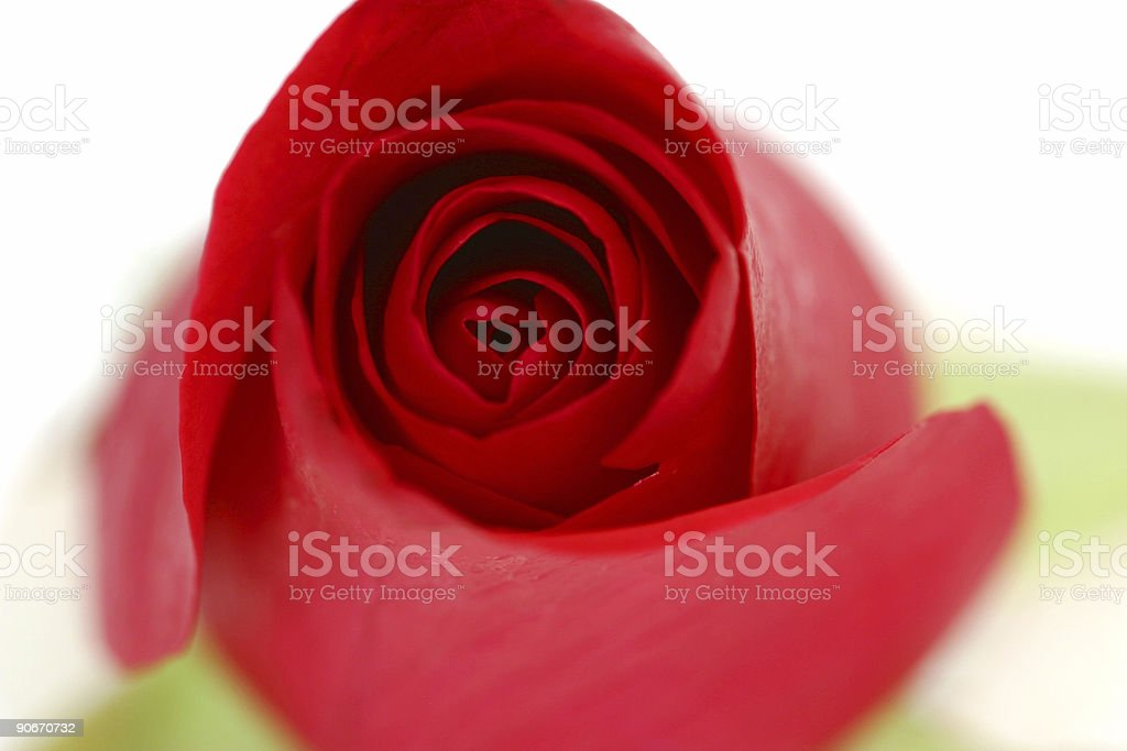 Gorgeous Red Rose Opening royalty-free stock photo