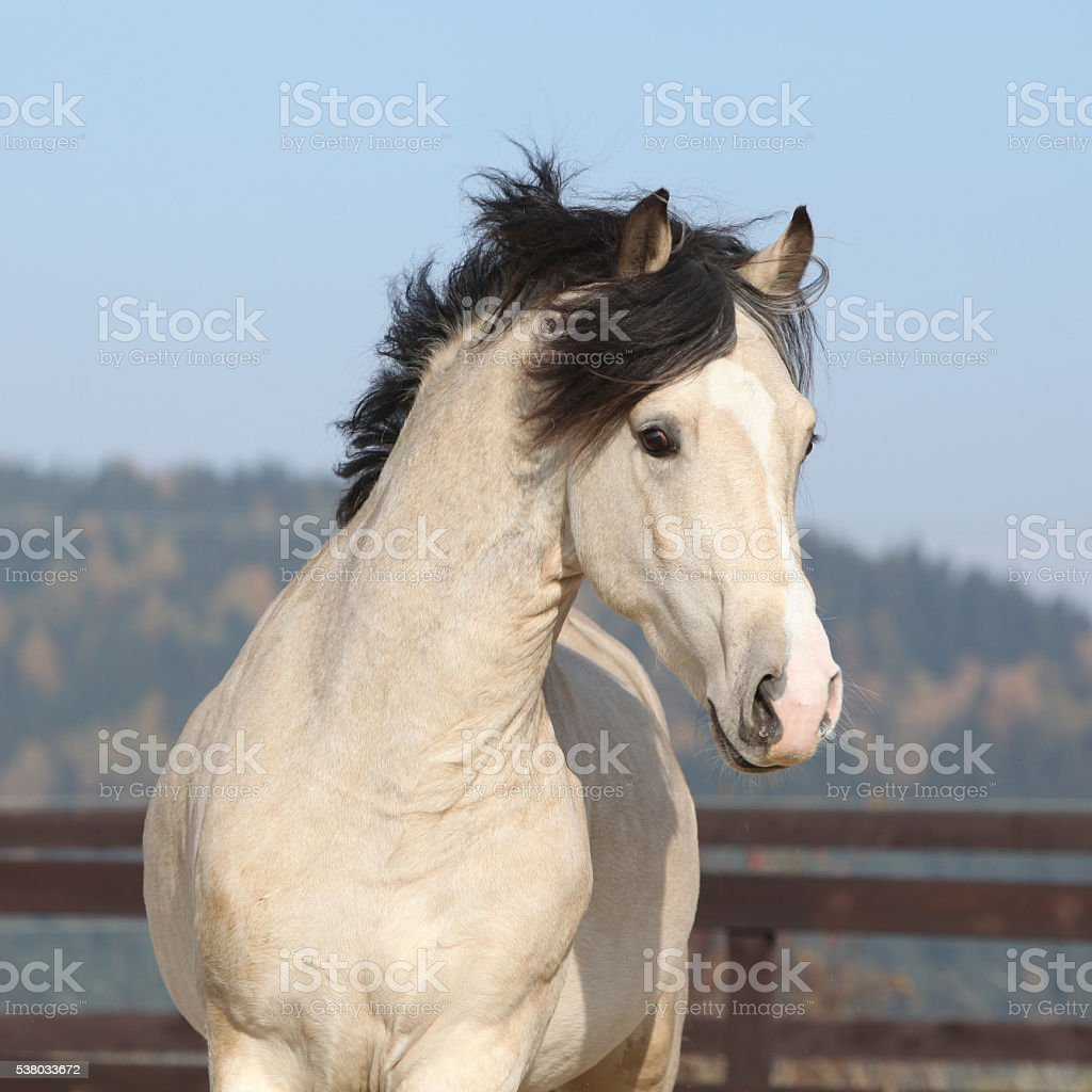 Gorgeous welsh cob running in autumn stock photo