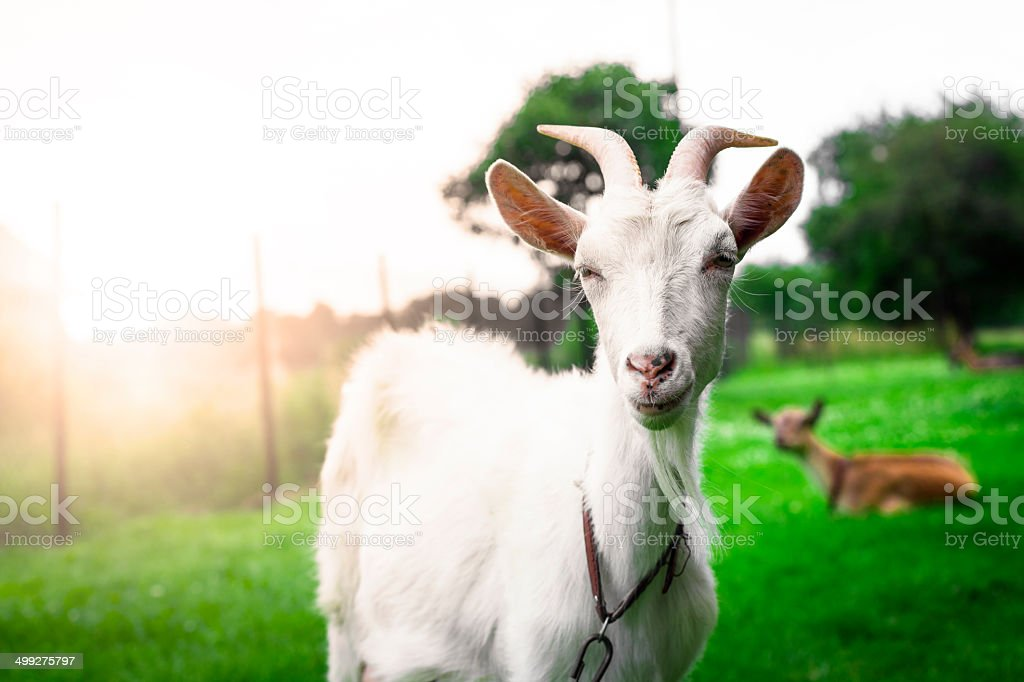 Gorgeous white goat's portrait stock photo