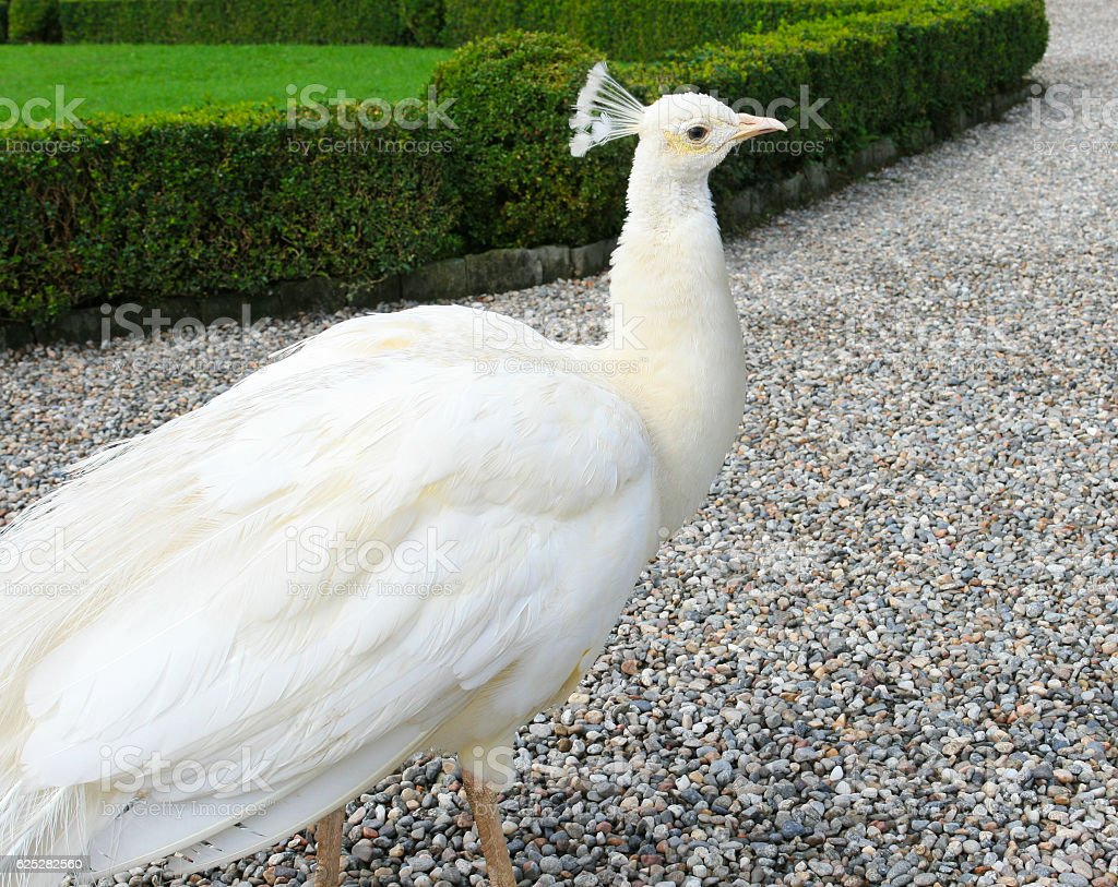 Gorgeous White Peacock Close-up on Slightly Blurred Nature Background. stock photo