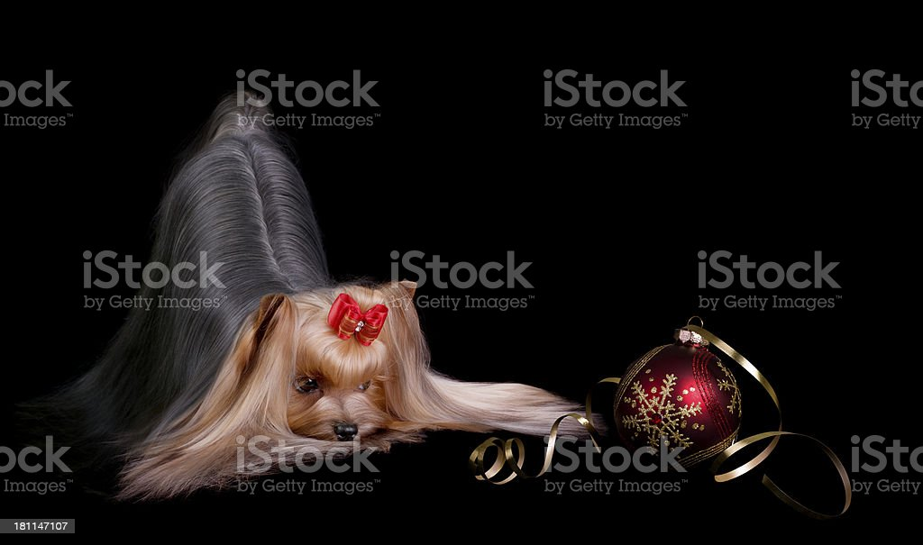 Gorgeous Yorkshire Terrier and a Christmas Bauble royalty-free stock photo