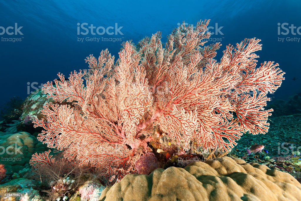 Gorgonian Sea Fan Beauty, Mopsella sp., Komodo National Park, Indonesia stock photo