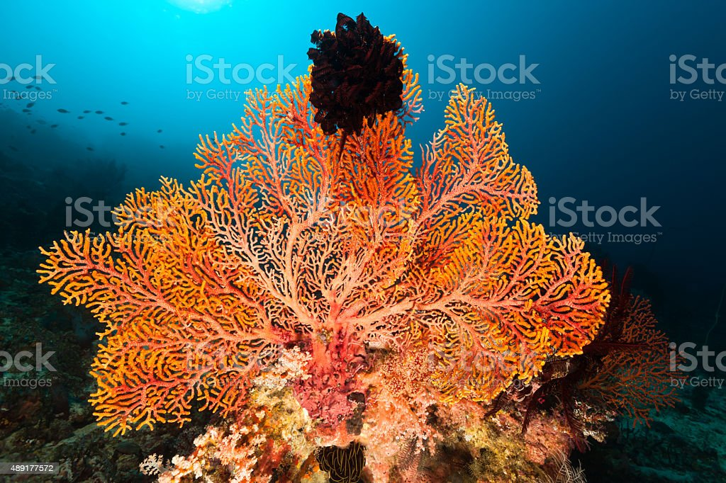 Gorgonian Sea Fan Beauty with Feather Star, North Komodo, Indonesia stock photo