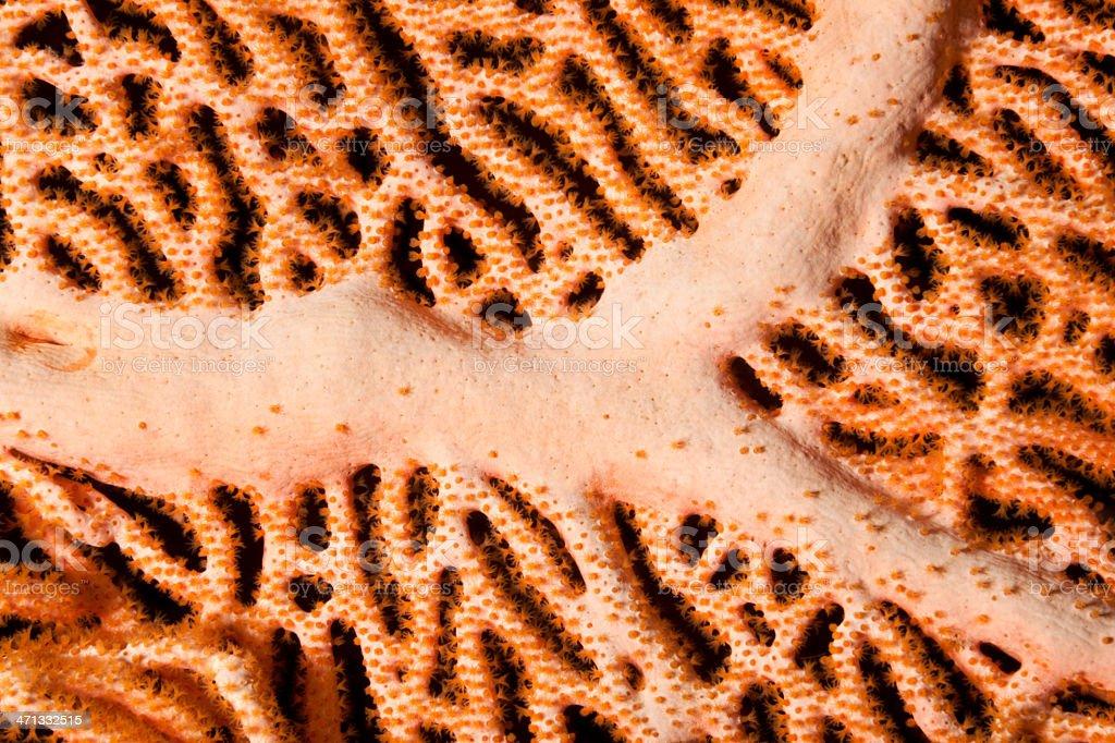 Gorgonian Sea Fan Detail with Orange Polyps, Bunaken Island, Indonesia stock photo