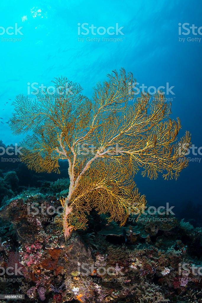 Gorgonian sea fan - Palau stock photo