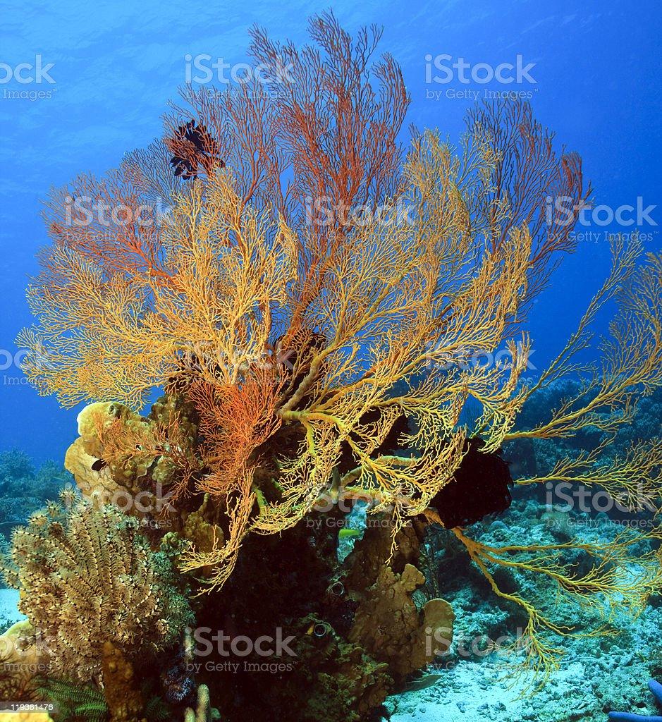 Gorgonian sea fan stock photo
