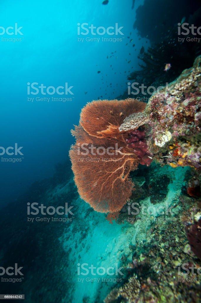 Gorgonian. Sipadan island. Celebes sea. Malaysia. stock photo