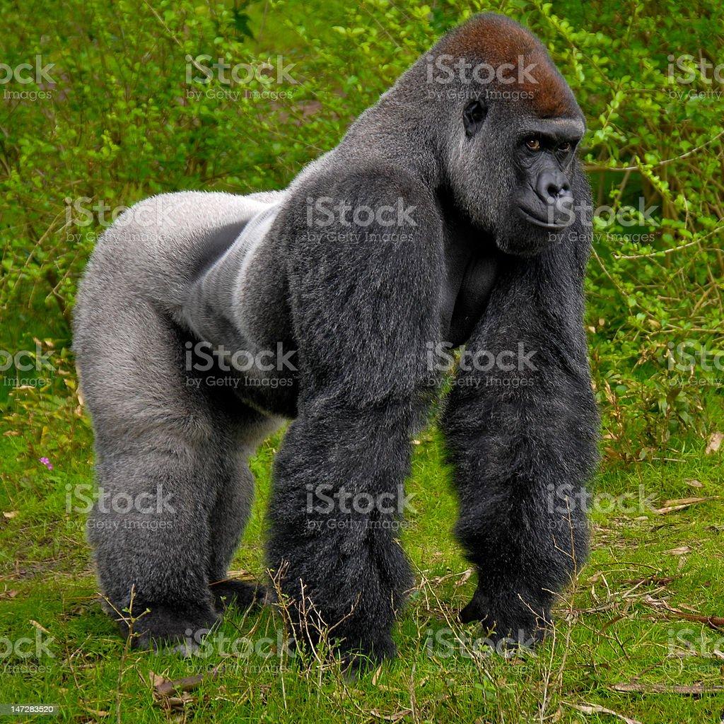 Gorialla Standing stock photo
