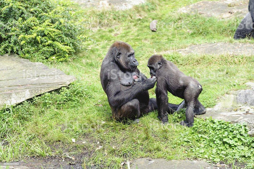 gorila's near a swamp stock photo
