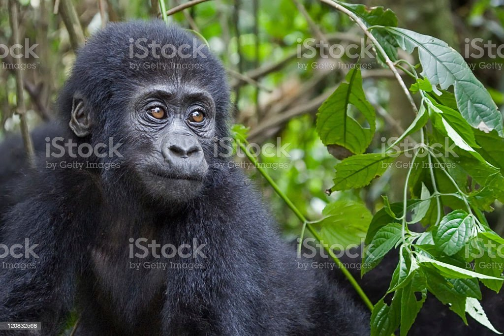 A gorilla amongst green foliage royalty-free stock photo