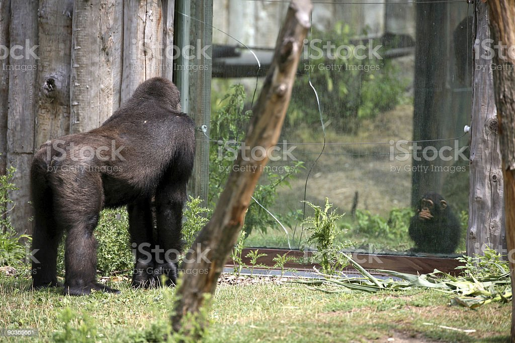 Gorilla and Chimpanzee Baby in a Zoo royalty-free stock photo