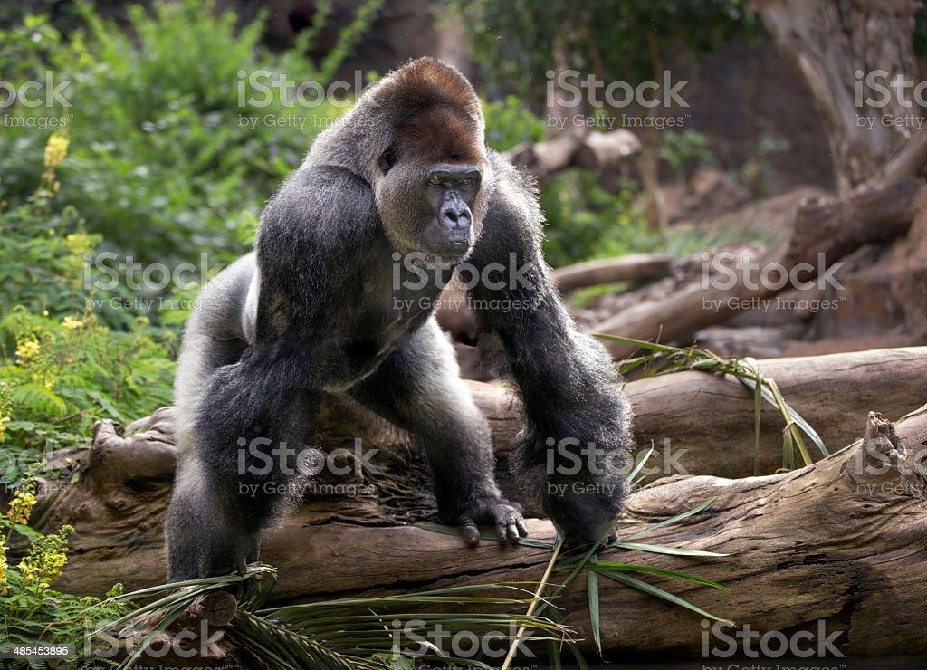 Gorilla at zoo stock photo