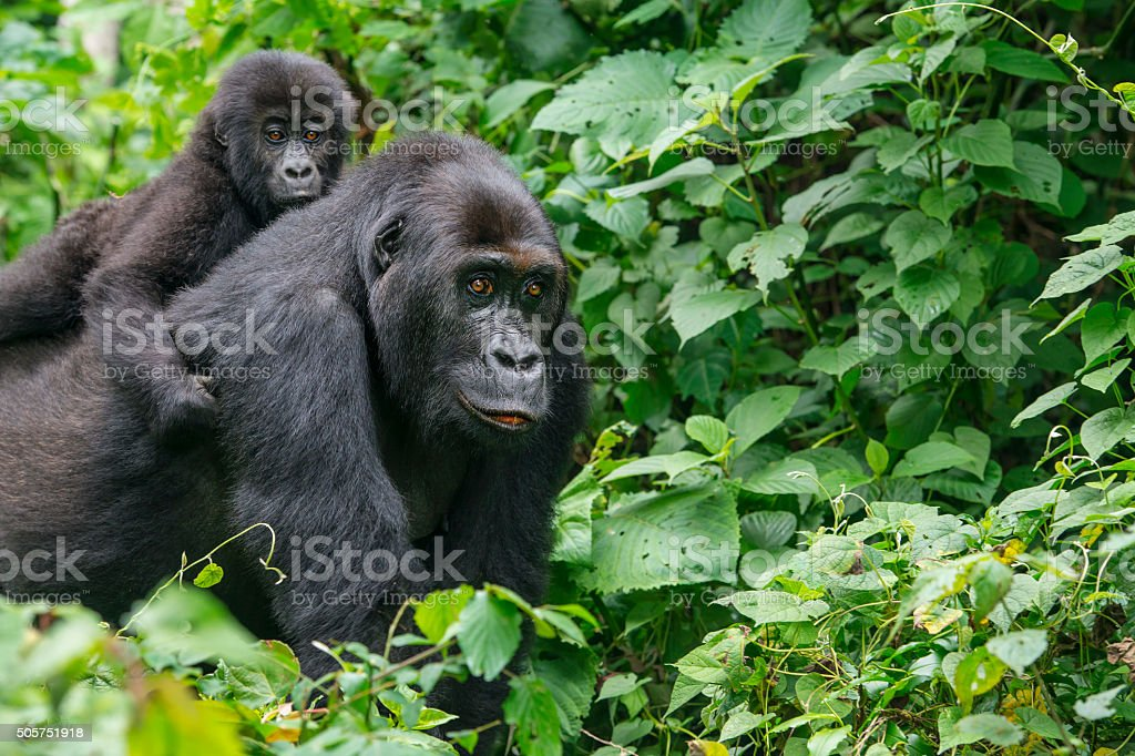 Gorilla baby riding on back of mother, wildlife shot, Congo stock photo