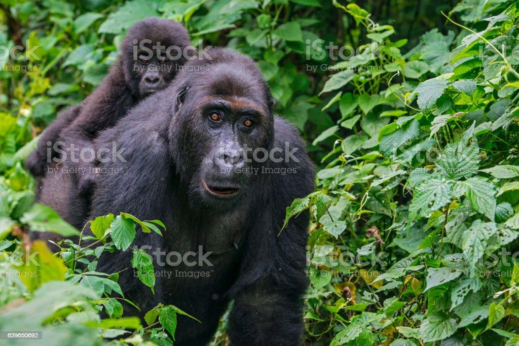 Gorilla baby riding on back of mother, wildlife shot, Congo stock photo