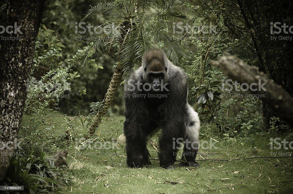 Gorilla Charging Camera stock photo