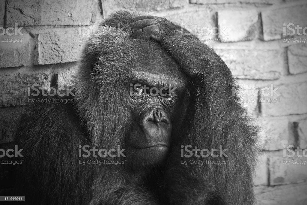 Gorilla close-up in Black and white stock photo