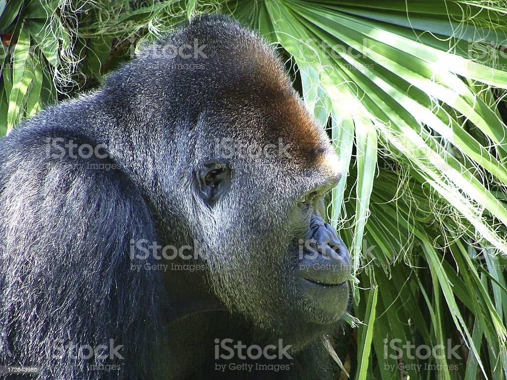 Gorilla Close-up Profile royalty-free stock photo