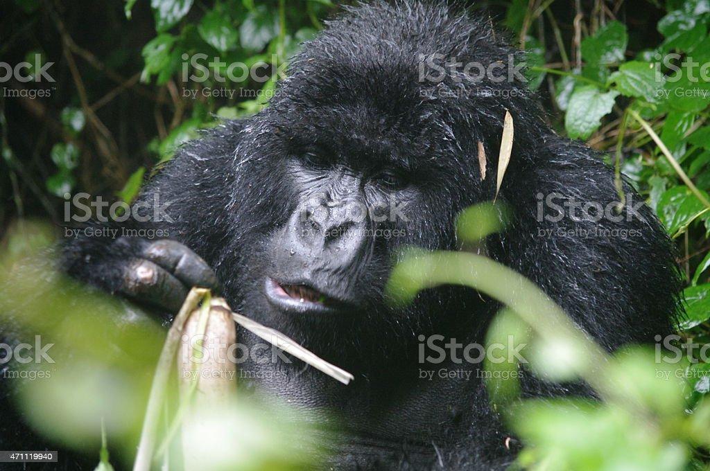 Gorila comer bambú foto de stock libre de derechos