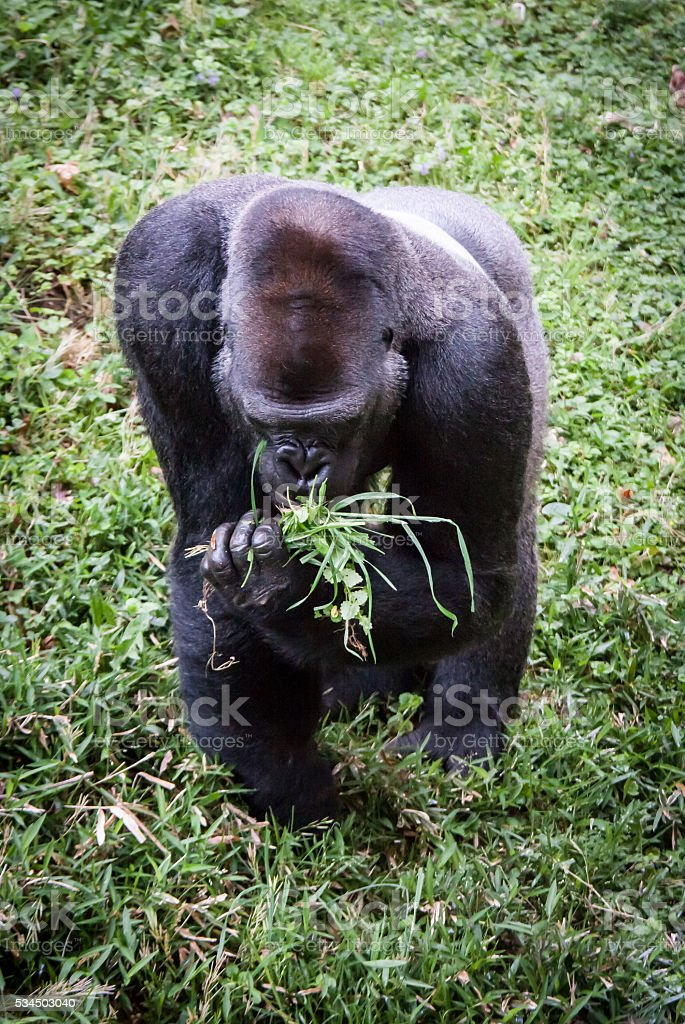 Gorilla Eating Grass stock photo